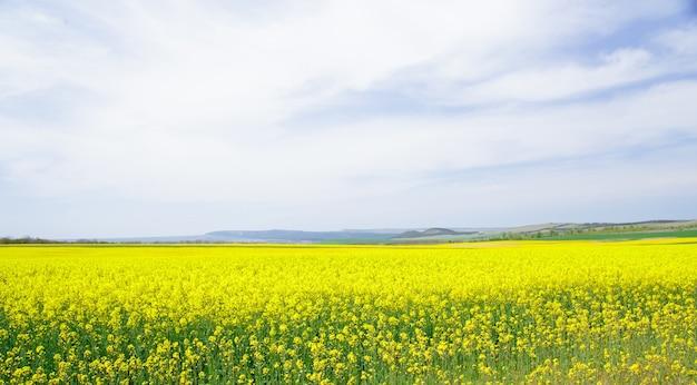 Colza de campo amarillo.