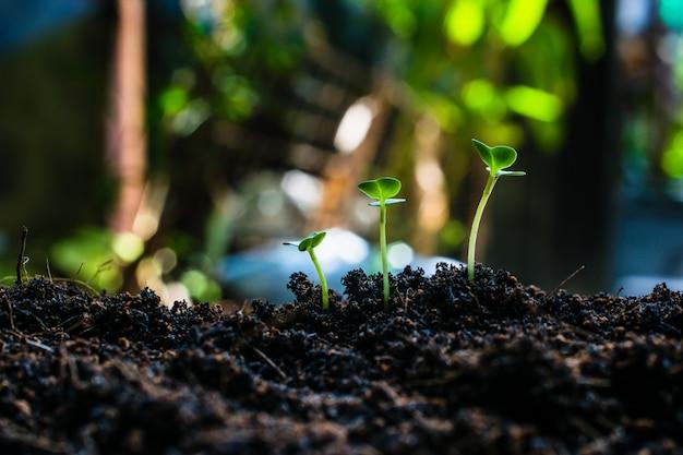 Cómo plantar plántulas de crecimiento,