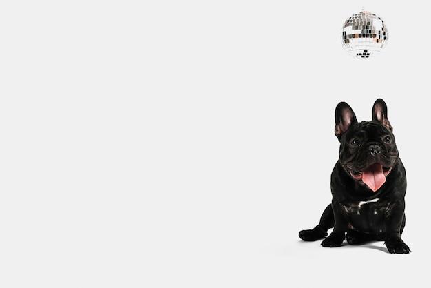 Composición adorable de bulldog con bola de discoteca