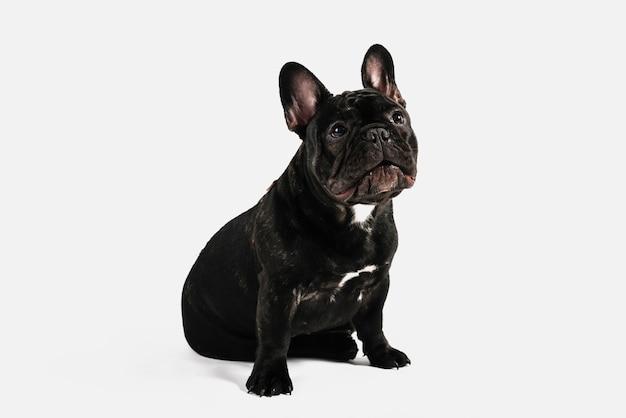 Composición adorable de mascota con bulldog