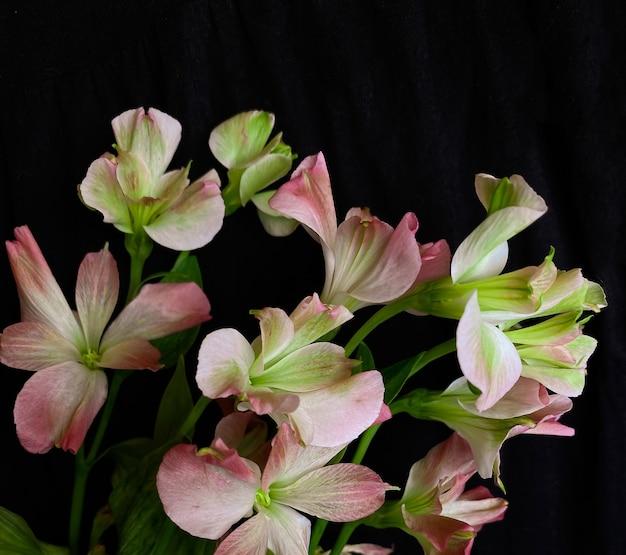 Composición de flores. marco de alstroemeria flores rosadas sobre fondo negro. concepto de día de la boda, día de la madre y día de la mujer. vista plana endecha, superior.