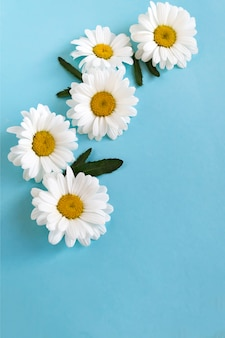 Composición de flores de margaritas blancas sobre azul.
