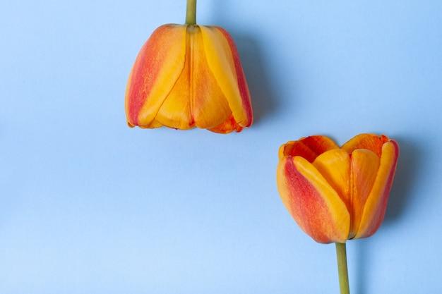 Composición de hermosas flores con espacio de copia. flores de tulipanes amarillos y rojos sobre fondo azul pastel. concepto para vacaciones.