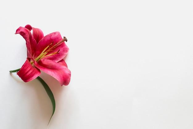 Composición de otoño con flor de lirio rojo sobre fondo blanco. espacio de copia plano.