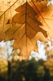 Composición de otoño y otoño. hermosa hoja de roble amarillo contra el sol en el parque