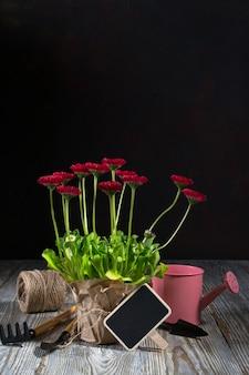 Composición con primeras flores de margarita para plantar y herramientas de jardinería