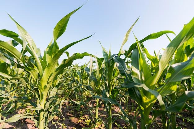 Concepto de agricultura de campo de maíz