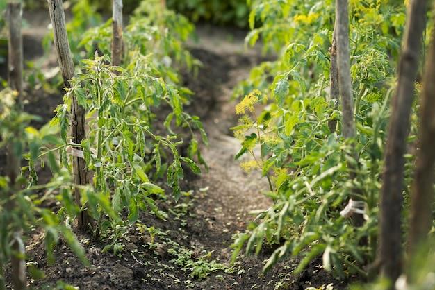 Concepto de agricultura ecológica con plantas de tomate.