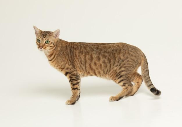 Concepto de animal doméstico gato animal serengeti cat en una pared gris