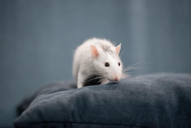 Concepto de año nuevo linda rata doméstica blanca en una decoración de año nuevo. el símbolo de 2020 es una rata.