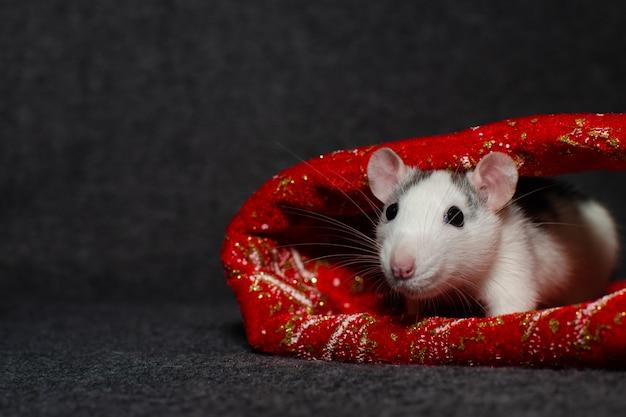 Concepto de año nuevo linda rata doméstica en una decoración de año nuevo con lugar para el texto. símbolo del año.