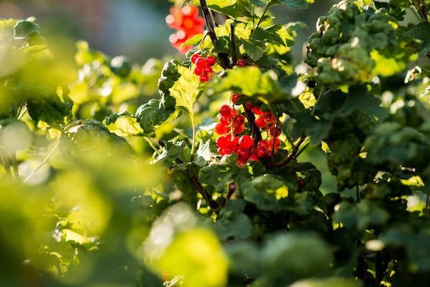 Concepto de cultivo orgánico de planta de baya roja