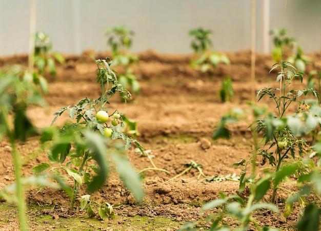 Concepto de cultivo con plantas de tomate.