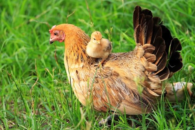 Concepto de amor: gallina y pollito