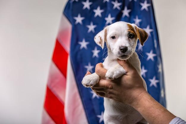 Concepto del día de la independencia americana, lindo cachorro jack russell terrirer en manos masculinas posan frente a la bandera de estados unidos