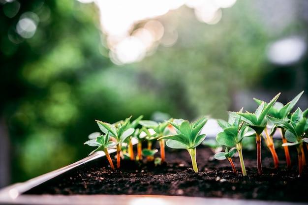 Concepto de ecología. las plántulas crecen de la tierra rica. pequeña profundidad de campo. las plantas jóvenes en vivero bandeja de plástico en la granja vegetal.