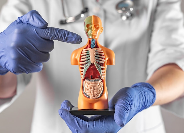 Concepto de endocrinólogo de enfermedades de la tiroides y la tráquea con cuerpo de modelo humano d en las manos
