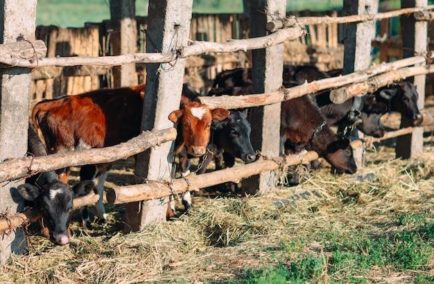 Concepto de industria agrícola, ganadería y ganadería. rebaño de vacas en establo en granja lechera
