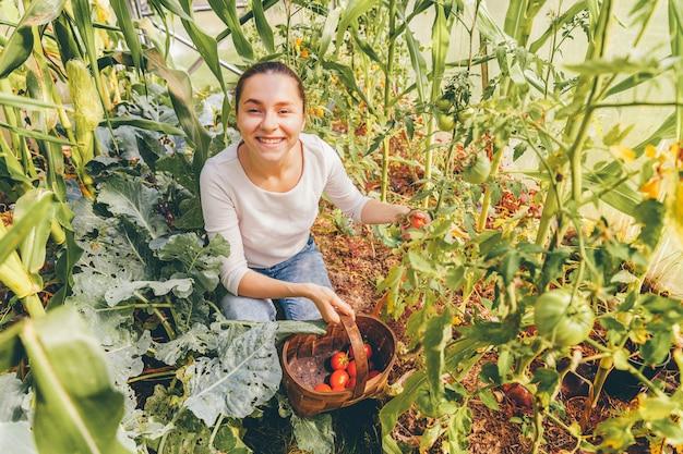 Concepto de jardinería y agricultura. joven trabajador agrícola con cesta recogiendo tomates orgánicos maduros frescos. productos de invernadero. producción de alimentos vegetales.