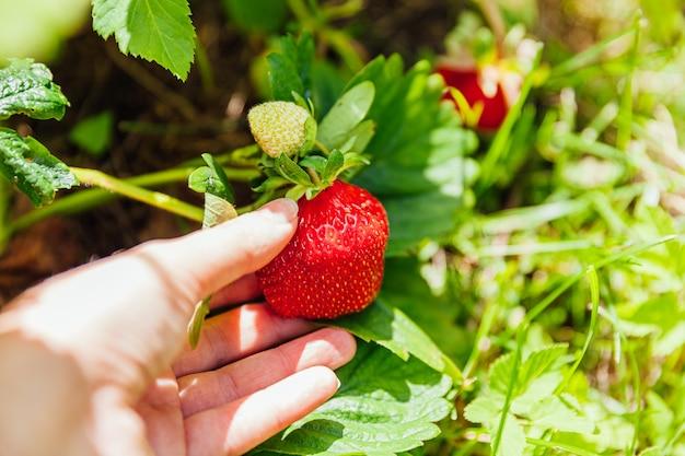 Concepto de jardinería y agricultura. mano de trabajadora agrícola cosechando fresas orgánicas maduras frescas rojas en el jardín.