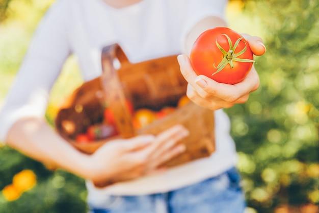 Concepto de jardinería y agricultura. manos del trabajador de granja de la mujer joven que sostienen la cesta que escoge los tomates orgánicos maduros frescos en jardín. productos de invernadero. producción de alimentos vegetales.