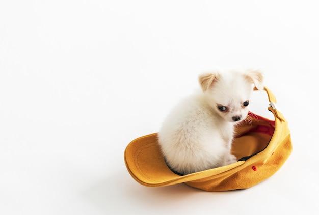 Concepto lindo del casquillo animal encantador de la mascota de chihuahua
