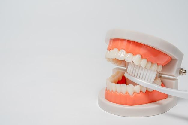 Concepto de odontología, medicina, equipo médico y estomatología. modelo de la quijada con el cepillo de dientes blanco en el fondo blanco.