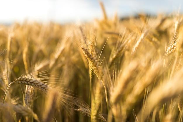 Concepto de otoño con especias de trigo dorado