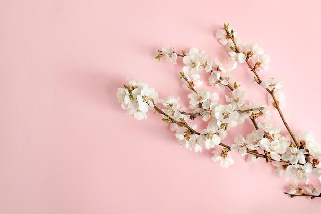 Concepto de primavera. una rama de albaricoque sobre un fondo rosa.