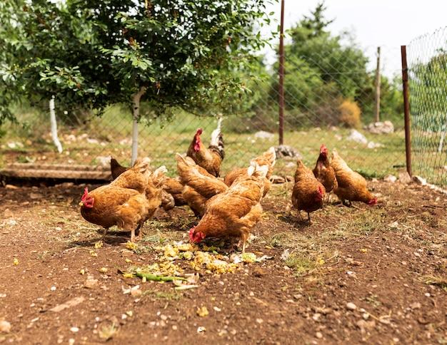 Concepto de vida de granja con pollos comiendo