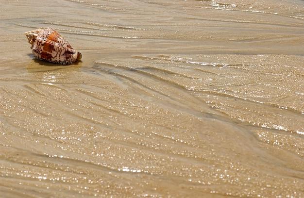 Concha en la arena de la playa como fondo.