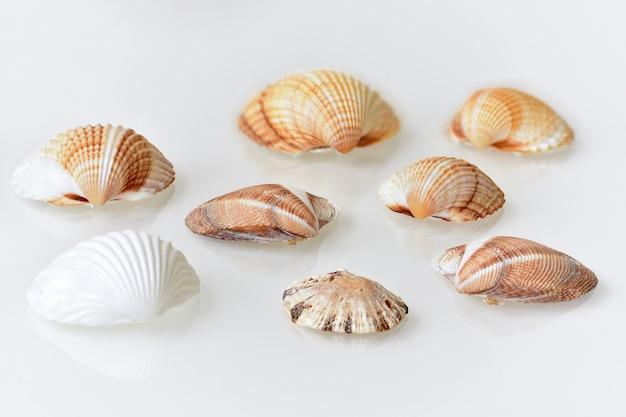 Concha de mar aislado en blanco