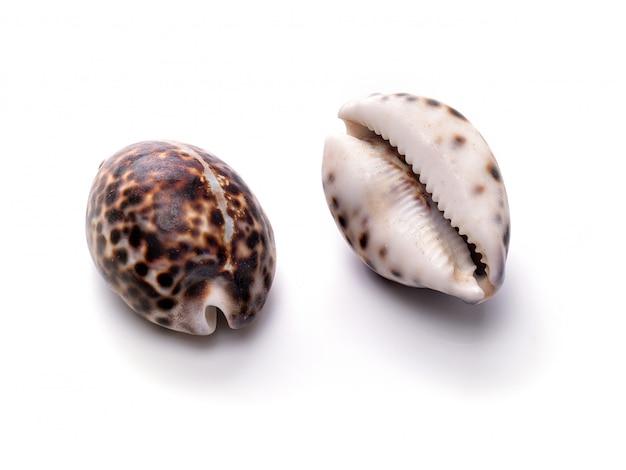 Concha natural del mar, patrón original de vida marina. refugio de seguridad para moluscos y crustáceos aislado blanco.
