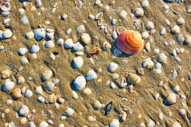 Conchas de mar en la playa de arena en rimini, italia