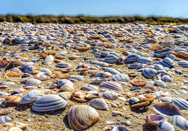 Conchas en primer plano en la costa del mar del norte de la haya