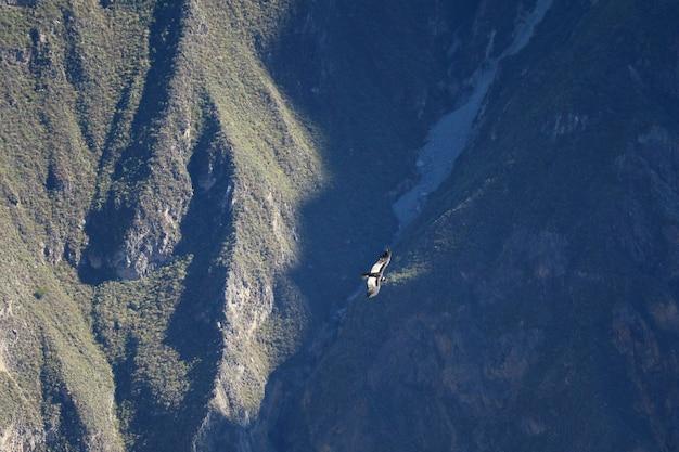 Cóndor andino volando sobre el cañón del colca, el segundo cañón más profundo del mundo, región de arequipa, perú