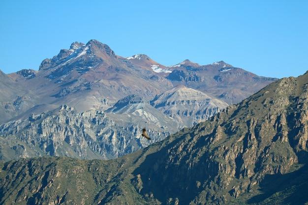 Un cóndor andino volando sobre el cañón del colca
