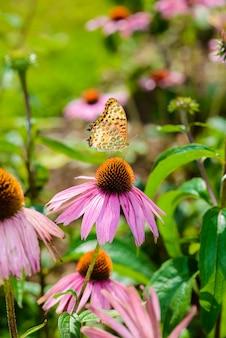 Coneflower púrpura (echinacea purpurea) una planta popular para atraer a la abeja