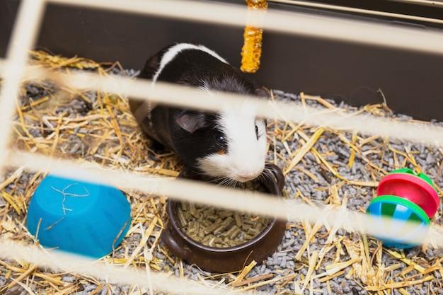 Conejillo de indias en blanco y negro en su jaula, pequeña mascota linda cerca con juguetes