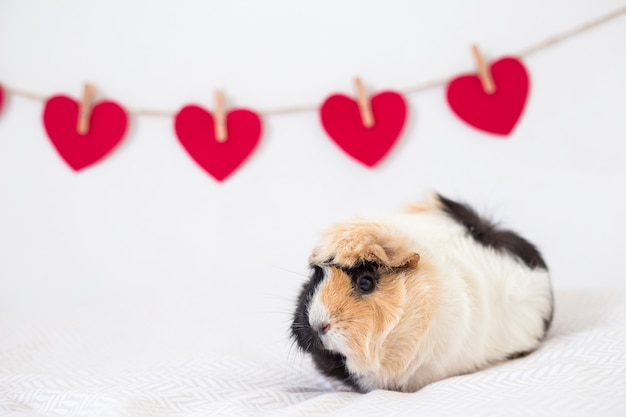 Conejillo de indias junto a la fila de corazones decorativos en hilo