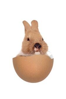 Conejito bebé en los huevos rotos aislados. felices pascuas