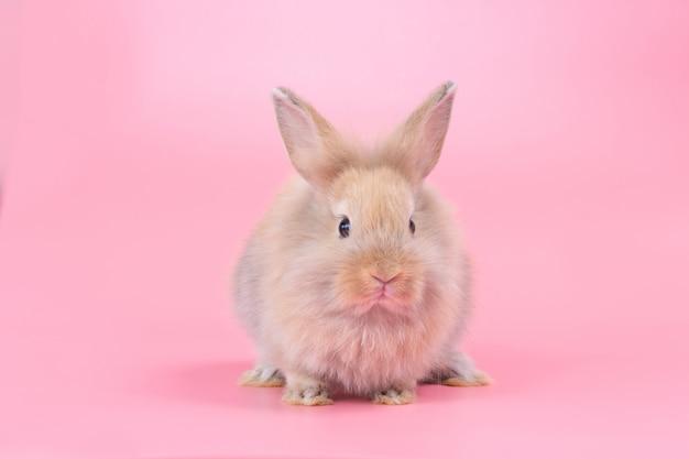 Conejo adorable del bebé de brown en fondo rosado. conejo lindo bebé.