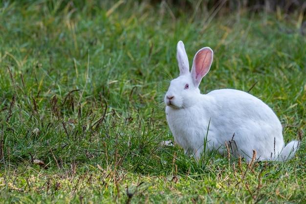 Conejo blanco camina sobre un prado verde
