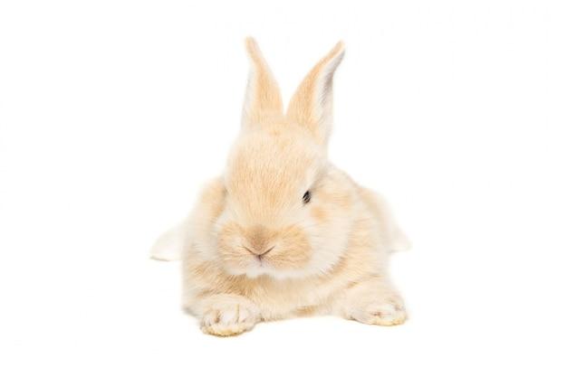 Conejo en blanco