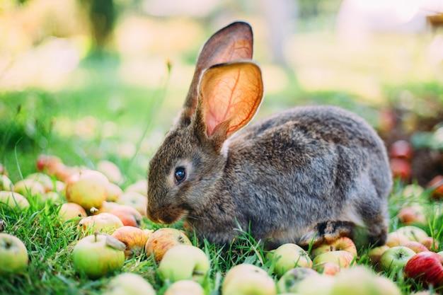 Conejo comiendo manzanas en la hierba en el jardín.