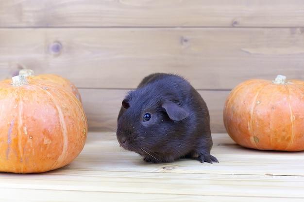 Un conejo de guinea se sienta en una mesa cerca de calabazas naranjas.