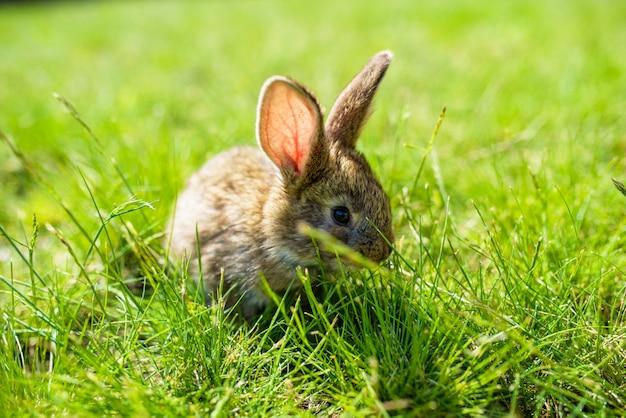 Conejo en la hierba