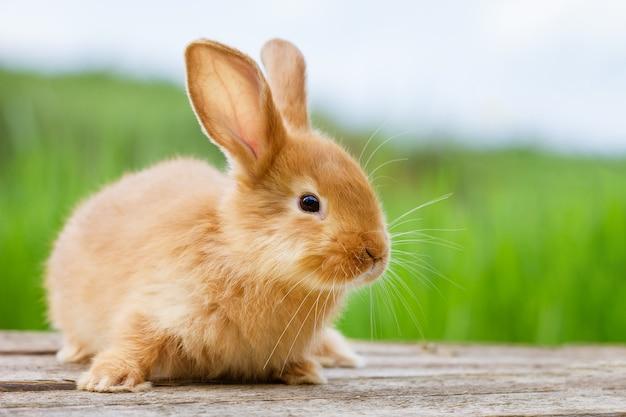 Conejo de jengibre divertido esponjoso en naturaleza verde