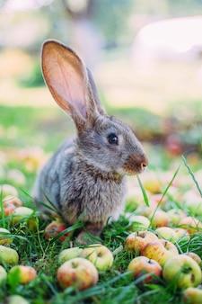 Conejo y manzanas en la hierba en el jardín.