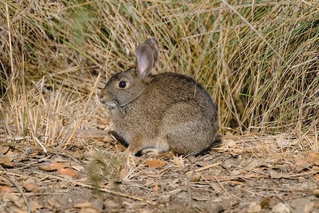 Conejo marrón sobre hierba marrón